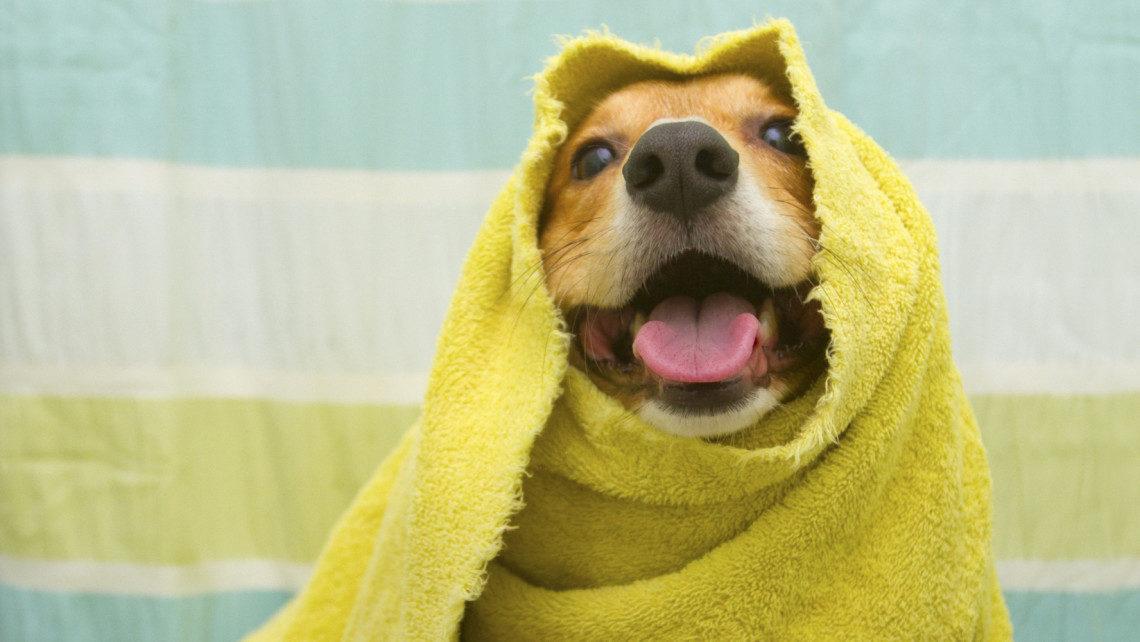 Happy corgi after a bath