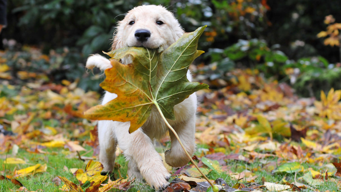 labrador-puppy-autumn-leaf-dogbuddy-blog