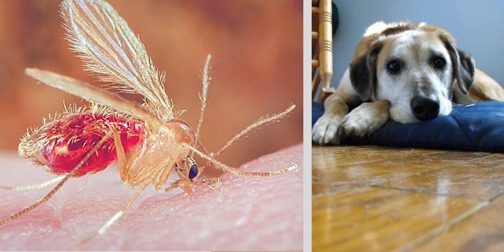 Leishmania Dog