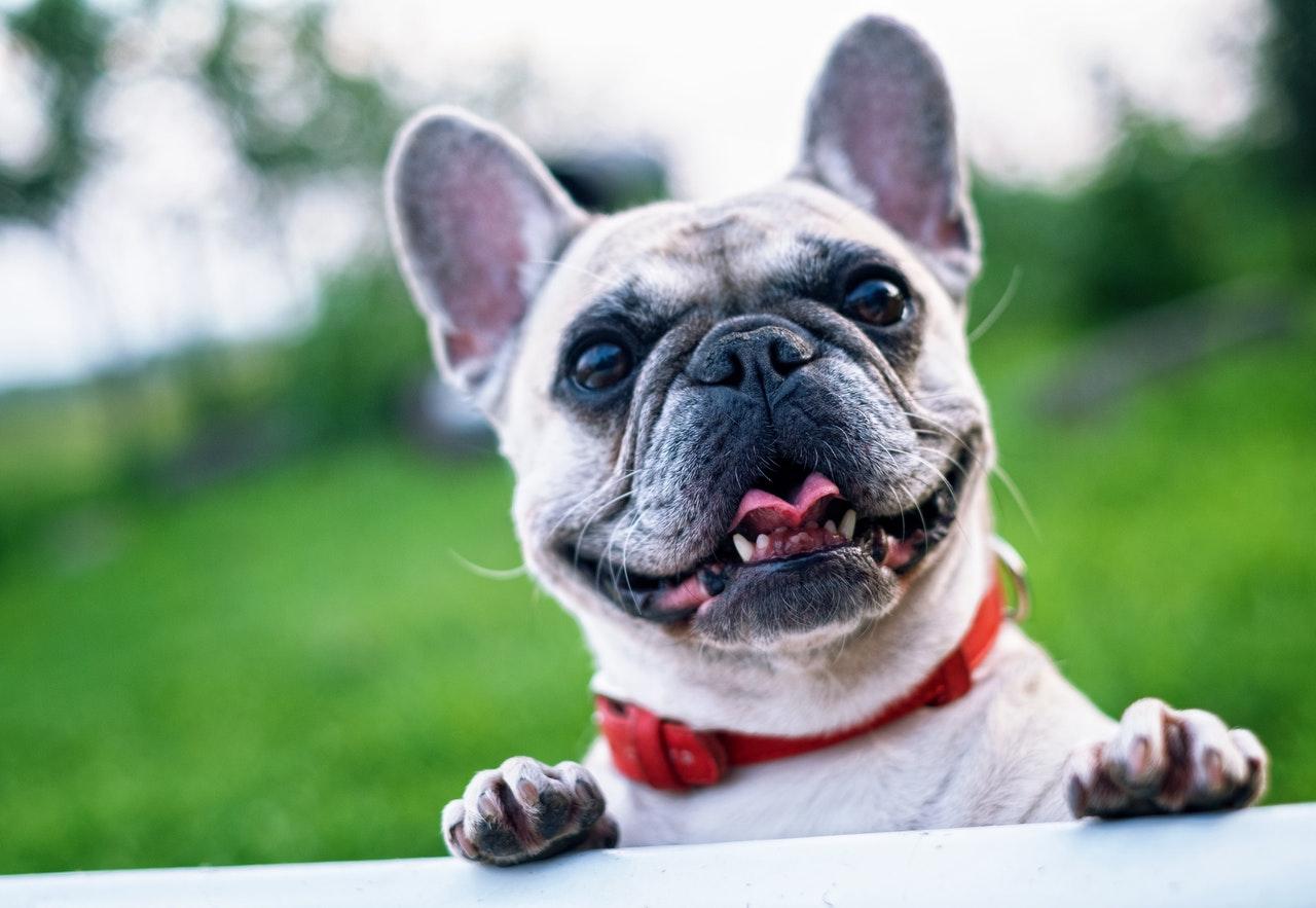 french-bulldog-summer-smile-joy-160846-1