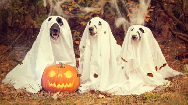 dogs in ghost costume with jack-o-lantern