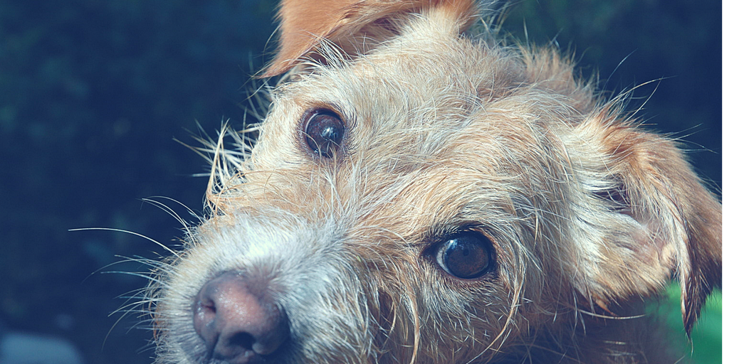 petable-blogpost-header-sad-puppy-ehrlichiosis