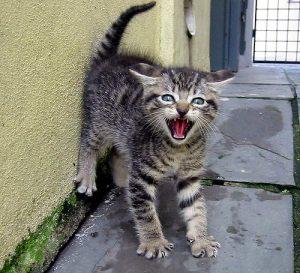 Gato apresentando postura corporal de medo: pêlo eriçado, dentes à mostra, costas arqueadas, cauda eriçada com aspecto de escova.