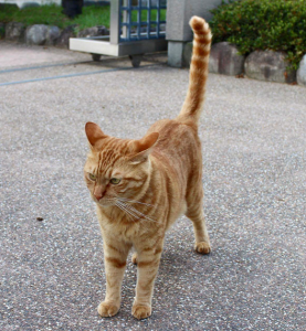 Gato amistoso com cauda vertical relaxada.