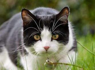 Gato tenso/alerta com bigodes afastados uns dos outros e direccionados para a frente.
