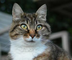 Gato atento com orelhas levantadas e viradas para a frente.