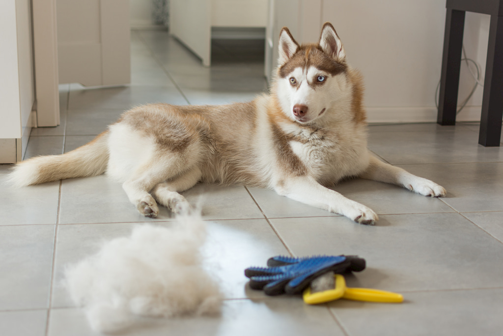 husky laying brush and glove and a pile of removed hair beside him