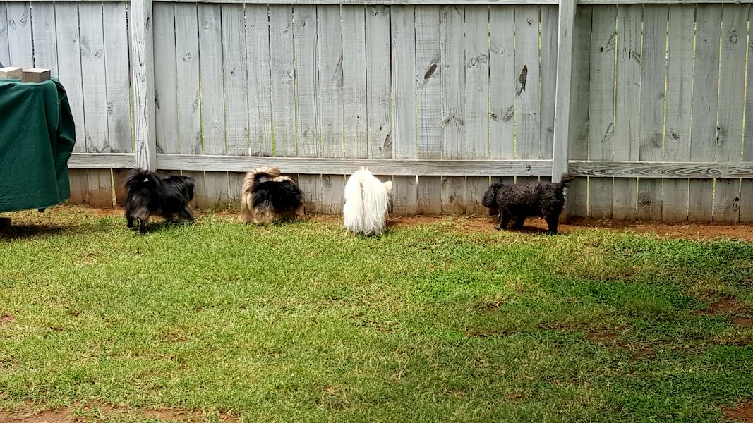 cães na cerca