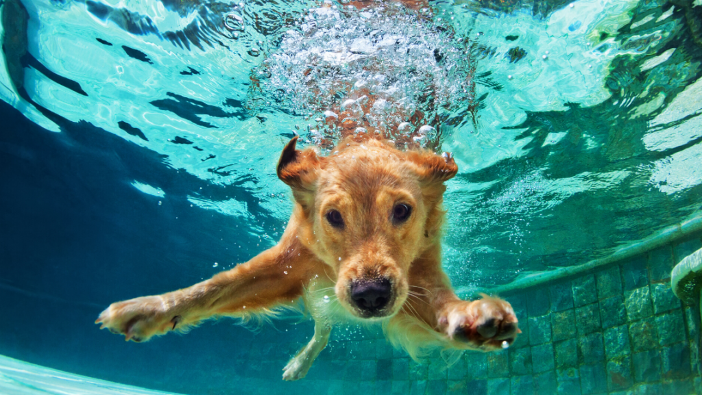 golden retriever piscina