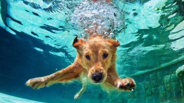 golden retriever piscina
