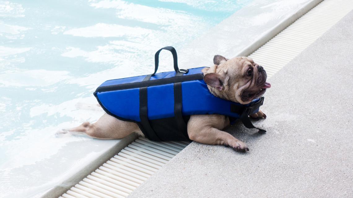 frenchie com colete de natação