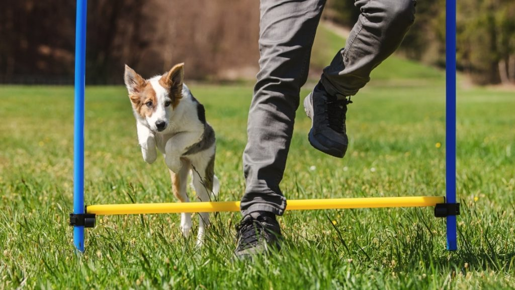 Puppy doing agility