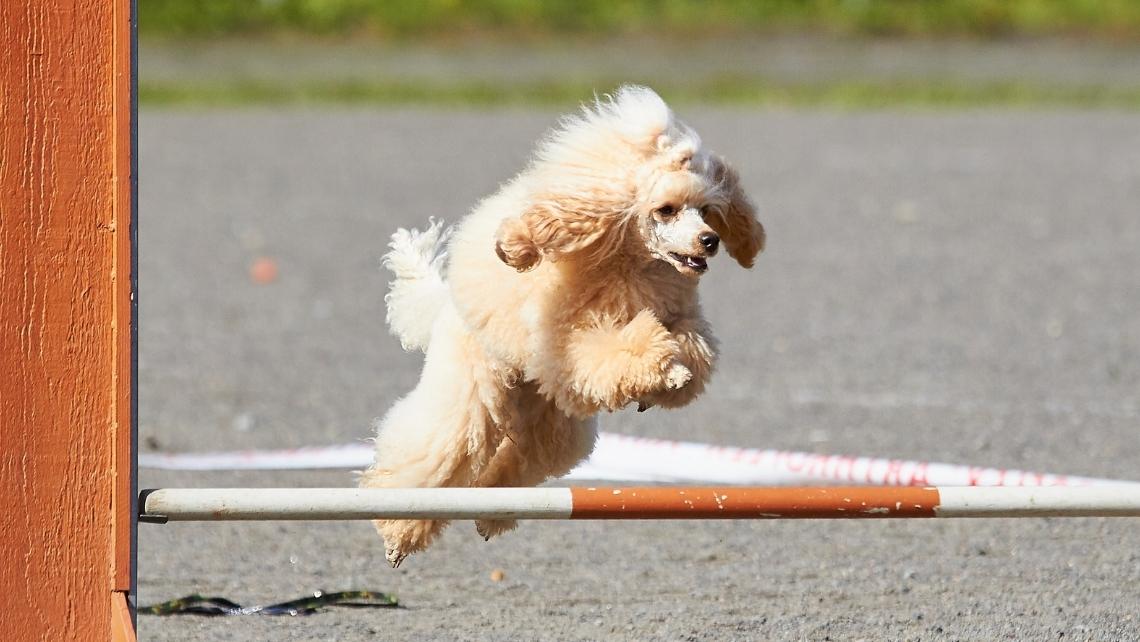 caniche a realizar salto de obstáculo de agility