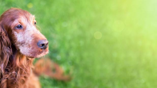 Cão Sénior